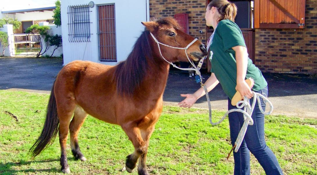 A Projects Abroad interns exercises a horse during her Equine Therapy placement in South Africa.